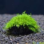 【無農薬】水草 南米ウィローモス玄武岩付き