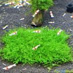 【無農薬】ウィローモスマット 縦10cmx横10cm