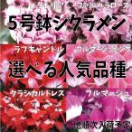 送料無料 シクラメン 5号鉢 選べる人気品種 クラシカルドレス プルマージュ ビクトリア