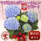 2019 母の日 花 人気 ギフト プレゼント 送料無料 アジサイ 鉢 マジカルレボリューション ブルー 5号鉢 贈り物