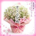 花 ギフト フラワーアレンジ プレゼント ピンク かわいい デルフィニュウム さくらひめ 愛媛県産 産地直送 送料無料