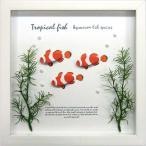 �������ե졼��/�椦�ѥ��å� Aqua Frame Clownfish(���饦��ե��å���ʥ��ޥΥߡ� )
