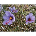 2018年度産 9cmポット植えサフラン球根(24ポット01組)  Saffron Crocus【11月上旬までのお届け】