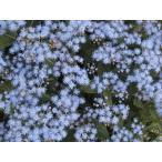 青花フジバカマ(ユーパトリウム)宿根草充実株 口径18.0cm鉢一面に生えています