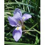 寒アヤメ 5〜6芽以上 6.0号鉢植え