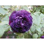 オールドローズ バラ苗 カージナル ドゥ リシュリュ ナチュラルカット大苗 Cardinal de Richelieu花色:紫