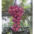 果樹苗 果実苗 ぶどう苗 ガーデニング用ブドウ苗:レッドポート(樹高30センチ前後・6号鉢)