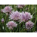 ハーブ大苗 チャイブ  大苗 口径13.5cm鉢入り大苗  Allium Schoenoprasum