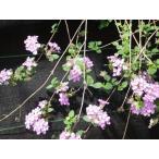 小葉のランタナ・ピンク色の花(コバノランタナ)充実株 口径18.0cmスリット鉢入り