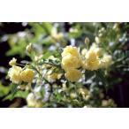 予約:11月中旬よりお届け 黄色モッコウバラ 八重 「長尺大苗」 Rosa banksiae f. lutea Rehder【花色:黄】