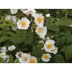 長尺つるバラ苗白色香り ロサムルティフローラ  送料別途 毎年10月〜翌年06月までお届けの苗