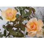 長尺つるバラ苗四季咲き黄色 フィリスバイド Phyllis Bide