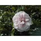 四季咲きバラ苗 強香 スタンウェルパーペチュアル ナチュラルカット大苗 花色 ピンク  送料別途 毎年10月から翌年06月までお届けの苗
