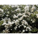 つるバラ苗 白モッコウバラ 八重 「長尺大苗」 Rosa banksiae f. alboplena Rehder【花色:白】