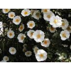 長尺つるバラ苗色 ナニワイバラ Rosa laevigata Michx