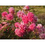 長尺つるバラ苗四季咲きピンク色 スーパードロシー  送料別途 毎年10月から翌年06月までお届けの苗