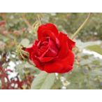 長尺つるバラ苗四季咲き赤色 アンクルウォルターCL  送料別途 毎年10月から翌年06月までお届けの苗