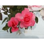 四季咲きバラ苗 ジャルダン ドゥ フランス 強剪定大苗 Jardins de France  花色ピンク