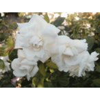 長尺つるバラ苗四季咲き白色 ニュードーン ホワイト  送料別途 毎年10月から翌年06月までお届けの苗