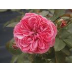 長尺つるバラ苗四季咲きピンク色 半日陰Ok レオナルドダヴィンチ Leonard de Vinci