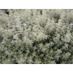 ハーブ苗 レモンタイム口径18.0cm鉢入り大苗 Thymus×citriodorus