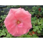 長尺つるバラ苗四季咲きピンク色 ラヴィーニア Lawinia