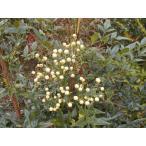 日陰植えOK 白ナンテン 樹高100cm前後口径21.0cmスリット鉢入り 白南天