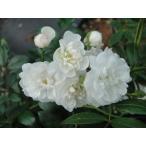 四季咲き半つるバラ苗 シーフォーム  ナチュラルカット大苗 花色 白  送料別途 毎年10月から翌年06月までお届けの苗