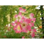 長尺つるバラ苗ピンク色 安曇野  Azumino