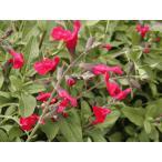 ハーブ苗 チェリーセージ特大苗 口径18.0cm鉢入り Nepeta × faasenii