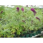 ブッドレア パープルエンペラー苗 開花実績ありの充実株・樹高70cm以上・6号鉢入り大苗