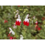 ハーブ苗 ホットリップス特大苗 口径18.0cm鉢入り Salvia microphylla 'Hot Lips'