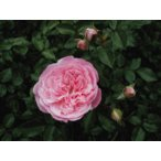 伸びる長尺つるバラ苗ピンク色 フランソワ ジュランビル Francois Juranville