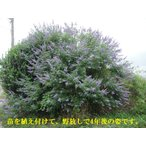 西洋 ニンジン ボク 苗予約(セイヨウニンジンボク大苗 ・バイテックス ,・チェストベリー) 樹高110センチ以上<08月からのお届けです>