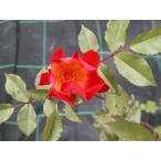 四季咲きつるバラ苗 カクテル 「ナチュラルカット大苗」 Cocktail【花色:赤】