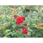 長尺つるバラ苗四季咲き真紅色 レッド・キャスケード Red Cascade