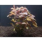 ハイグロフィラ・ロザエネルビス(5本)国産無農薬 ◆赤色の葉が綺麗◆