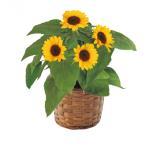 父の日 送料無料 ギフト 花 鉢花 ひまわり鉢植え 925-38_4983956393708_38