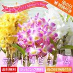 母の日鉢植え花ギフト 洋ラン デンドロビューム 母の日「母想い」ギフト 花言葉:思いやり
