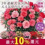 母の日 2021 早割 ギフト ランキング プレゼント カーネーション 花鉢 鉢植え さくらもなか 5号 母の日期間お届け