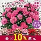 母の日 2021 早割 ギフト ランキング プレゼント カーネーション 花鉢 鉢植え スイートジュエル 5号 母の日期間お届け