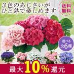 母の日 2021 早割 ギフト ランキング プレゼント あじさい 花鉢 鉢植え 3色 ミックス 寄せ植え 母の日期間お届け