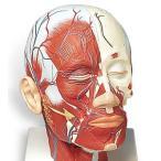 3B社 頭部模型 頭・頚部の筋肉モデル・血管付 (vb128)【鍼灸】【模型】