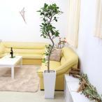観葉植物 珍しい!スパイラル仕立てのフランスゴムの木 10号 選べる陶器鉢 Zタイプ