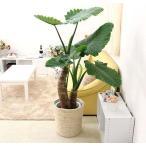 【送料無料】雑誌などでも良く見かける人気の観葉植物