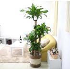 観葉植物 幸福の木 10号(朴)+ストライプバスケット鉢カバー