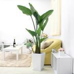スタイリッシュ南国のやさしさ伝わるオーガスタ 10号 選べるスクエア陶器鉢 ストレート  鉢皿付き大型サイズの観葉植物