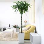 観葉植物 パキラ 10号 スクエアホワイトロング陶器鉢