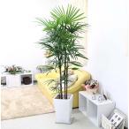 スタイリッシュ シュロ竹 シュロチク 10号 ホワイトロング陶器鉢 スクエア形 大型サイズの観葉植物
