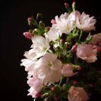 たくさんの桜の花が楽しめる一才桜(品種:旭山桜)陶器鉢